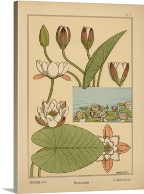 The Plant and its Ornamental Applications, Plate 7 - Water-Lily