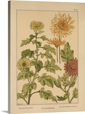The Plant and its Ornamental Applications, Plate 70 - Chrysanthemum