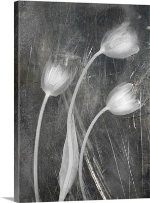 Three Tulipanes Con Red Scratch