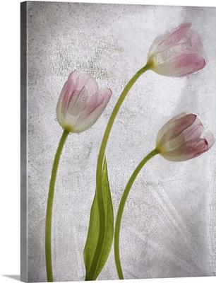 Three Tulipanes Congelada Red B