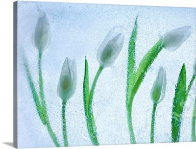Tulipanes Blancos 29