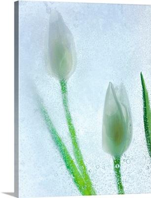 Tulipanes Blancos 32 BN
