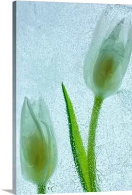 Tulipanes Blancos 33