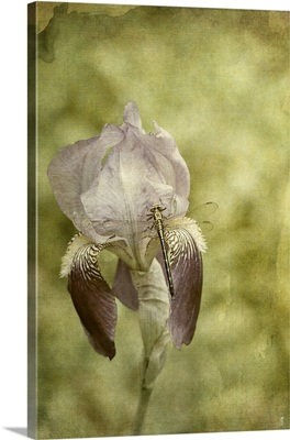 Vintage Iris And Dragonfly