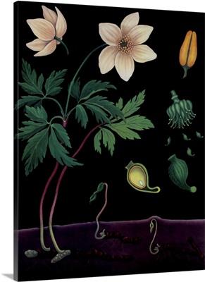 Windflower - Botanical Illustration