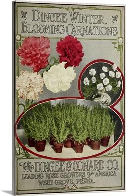 Winter Carnations