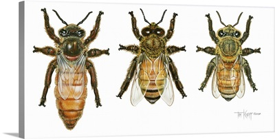 Worker, Drone, And Queen Honey Bees