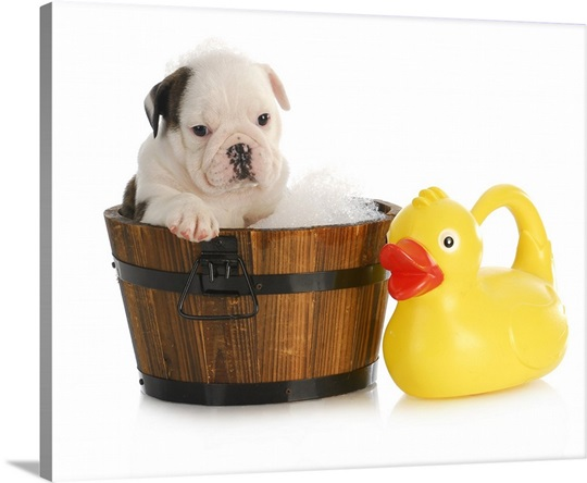 English bulldog puppy in wooden wash basin with soap suds and rubber ...