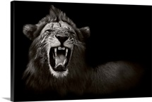 Lion Displaying His Teeth - black and white photograph
