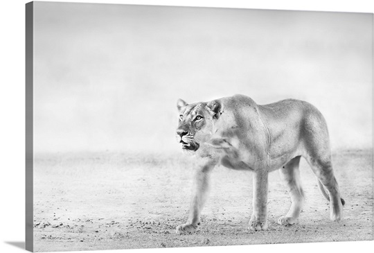 Lioness Hunting - black and white photograph Wall Art, Canvas Prints ...