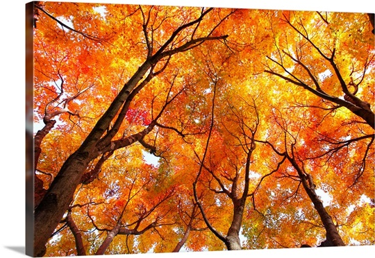 Maple tree in autumn Wall Art, Canvas Prints, Framed Prints, Wall ...