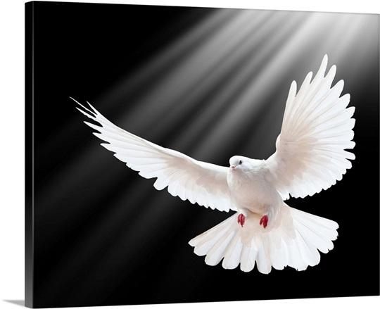 white dove in flight with beams of light wall art canvas prints