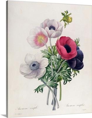 15:Anemone: Simple, from Les Choix des Plus Belles Fleurs