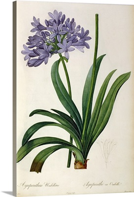 Agapanthus umbrellatus, from Les Liliacees by Pierre Redoute