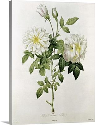 Aime Vibere (Tea) engraved by Eustache Hyacinthe Langlois