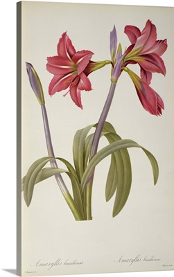 Amaryllis Brasiliensis, from Les Liliacees by Pierre Redoute