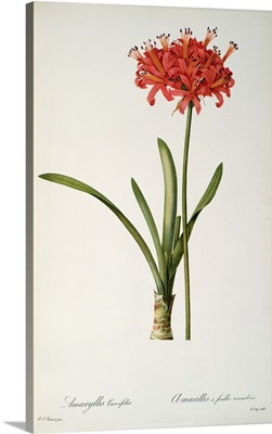 Amaryllis Curvifolia, 1809, from Les Liliacees by Pierre Redoute
