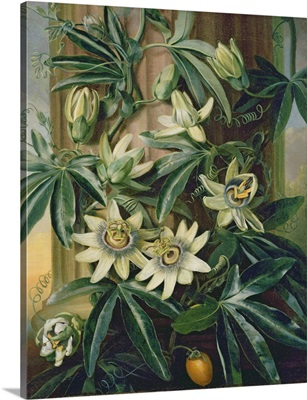 Blue Passion Flower for the Temple of Flora by Robert Thornton, 1800