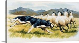 Border Collie Herding Sheep Wall Art Canvas Prints Framed Prints Wall Peels Great Big Canvas