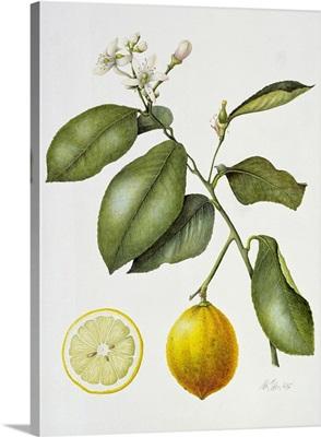 Citrus Bergamot, 1995