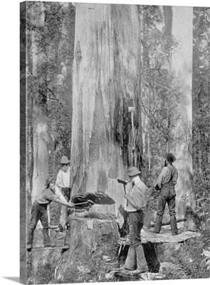 Felling a Blue-Gum Tree in Huon Forest, Tasmania, c.1900