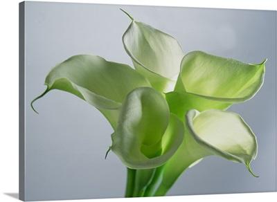 Four Arum Lilies, 1999