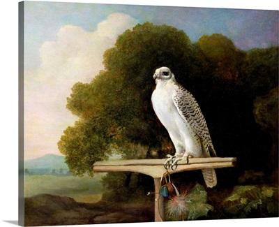 Greenland Falcon (Grey Falcon), 1780