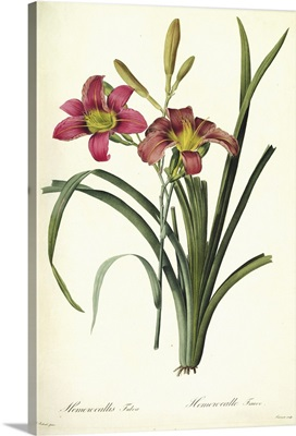 Hemerocallis fulva (lily), from, Les Liliacees, 1808-16