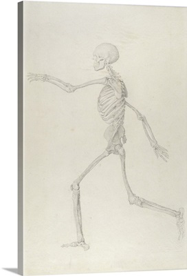 Human Skeleton, Lateral View seen from the Left, Running