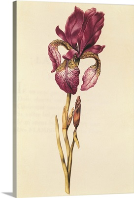 Iris, from La Guirlande de Julie, c.1642
