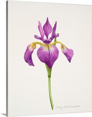 Iris laevitigata
