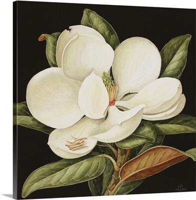 Magnolia Grandiflora, 2003