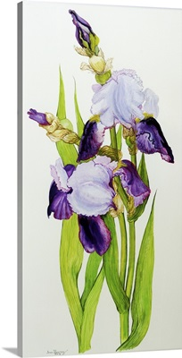 Mauve and purple irises with two buds