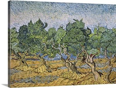 Olive Orchard, Violet Soil