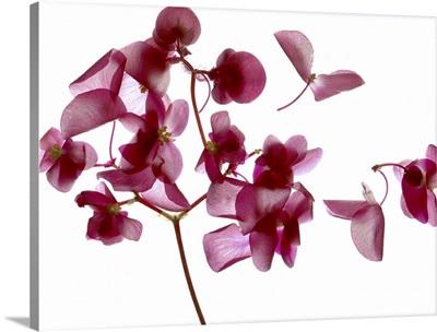 Pink Begonia I