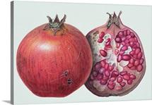 Pomegranate, 1995 (w/c on paper)