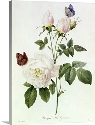 Rosa: Bengale the Hymenes, from Les Roses, 19th century