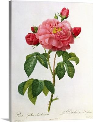 Rosa Gallica Aurelianensis, engraved by Eustache Hyacinthe Langlois (1777 1837)