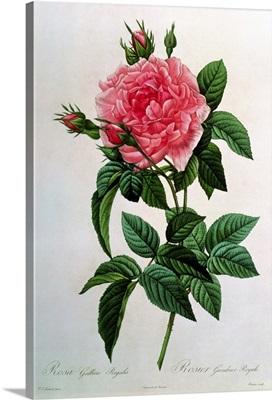 Rosa Gallica Regallis, from Les Roses, 19th century