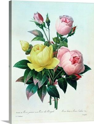 Rosa Lutea and Rosa Indica, from Les Choix des Plus Belles Fleurs, 1827