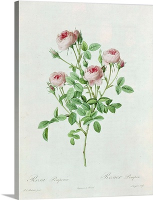 Rosa Pomponia, from Les Roses by Claude Antoine Thory