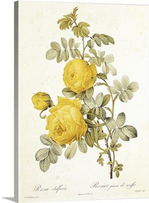 Rosa Sulfurea (Yellow Rose) from Les Roses by Claude Antoine Thory (1757 1827) engraved by Eustache Hyacinthe Langlois (1777 1837) 1817 (coloured engraving)