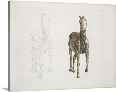 Tab. VIII, from 'The Anatomy of the Horse,' 1766