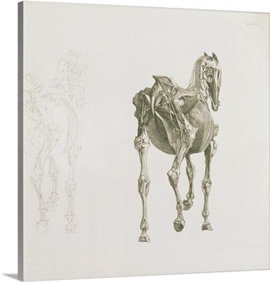 Tab. XV, from 'The Anatomy of the Horse,' 1766