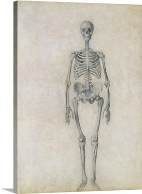 The Human Skeleton, anterior view