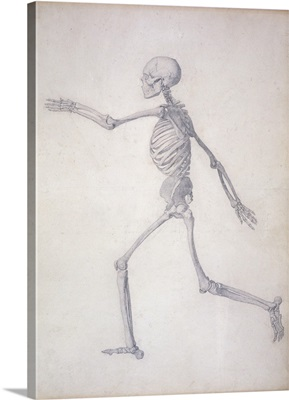 The Human Skeleton, lateral view