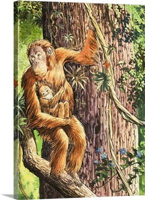The Orang-utan