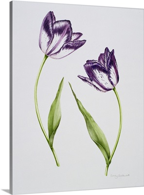 Tulip 'Habit de Noce'