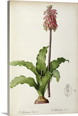 Veltheimia Capensis, from Les Liliacees, c.1805