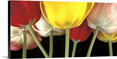 Sunshine Tulips
